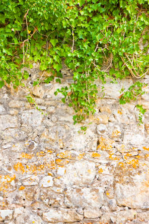 Stone wall covered in ivy - image with copy space 版權商用圖片