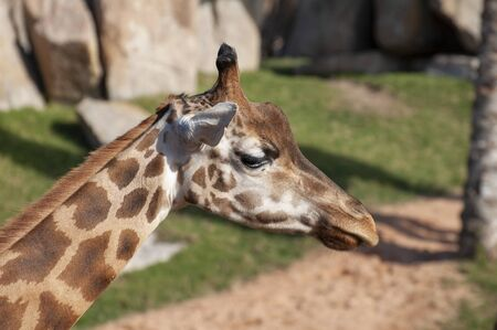 Giraffe at the zoo in Valencia
