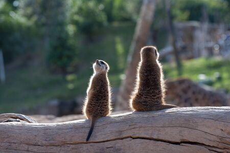 Meerkats at the zoo in Valencia