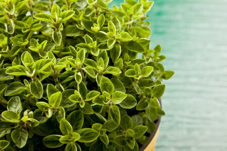 photo of fresh oregano plant on green glass table with yellow cloth photo