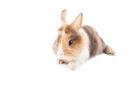 photo of adorable dwarf rabbit with lion's head on white isolated background