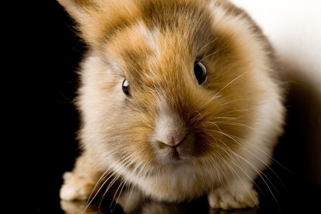 affraid: photo of adorable dwarf rabbit with lions head on black glass table Stock Photo