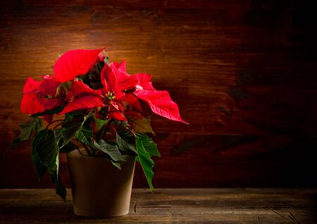 photo of beautiful poinsettia plan on wooden table illuminated by spot photo
