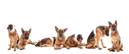 conceptual photo of various injured german shepherds photo