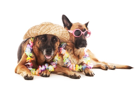 shepherd's companion: Two german shepherds in hawaiian style over white isolated background