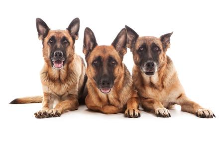 perro policia: Foto de tres pastores alemanes adorable sobre fondo blanco aisladas