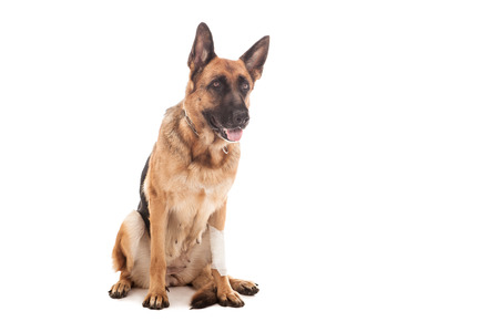 shepherd's companion: photo of an injured german shepherd over white isolated background Stock Photo