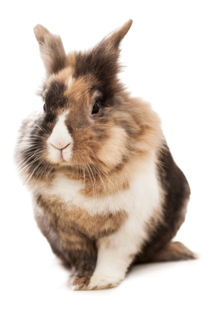Isolated photo of two and half year old dwarf rabbit photo