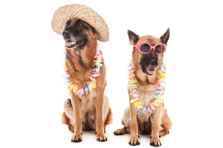 hollidays: Two german shepherds in hawaiian style over white isolated background