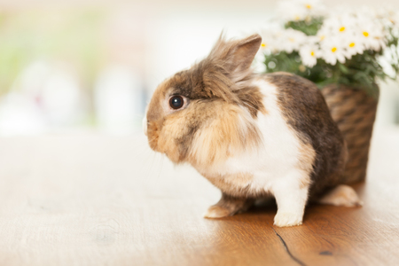 marguerites: Photo of dwarf rabbit on wooden table next to a pot with marguerites