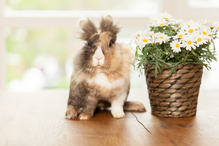 dwarfish: Photo of dwarf rabbit on wooden table next to a pot with marguerites