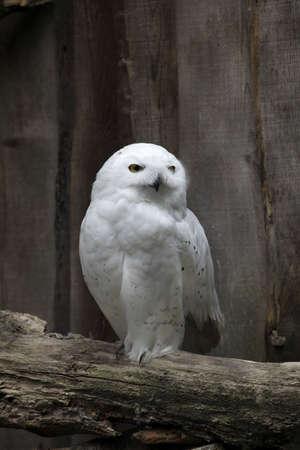 white raptor on branch - barn owl