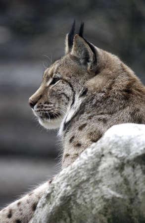lynx - animal feline