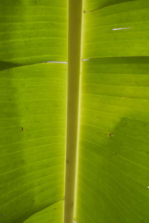 green leaf of banana
