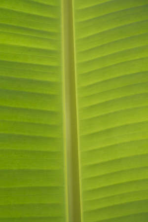 green leaf of banana Stock Photo - 7632885