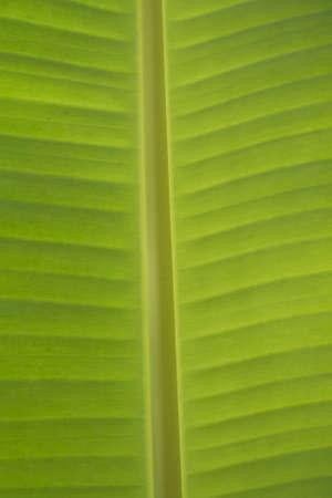 green leaf of banana Stock Photo - 7632885