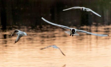 Gulls flying on river Adda near Trezzo
