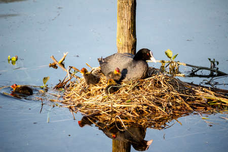 A family of coots in the nest Archivio Fotografico