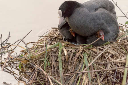 Two coot chicks under mothers wings Archivio Fotografico