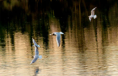 A group of seagulls flying freely on river Adda stream Archivio Fotografico
