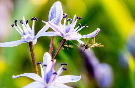 Scilla bifoglia flowers and host