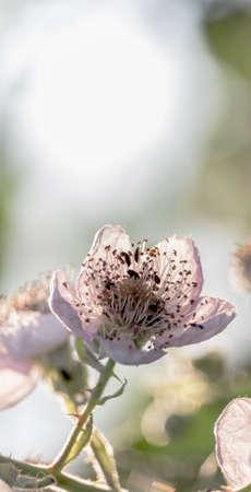 A flower of a wild apple tree in backlight Archivio Fotografico