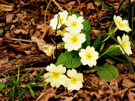 A small bunch of primroses