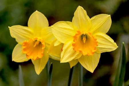 A pair of daffodils rush Archivio Fotografico