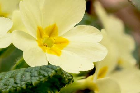 A primrose from the local park of river Molgora Archivio Fotografico