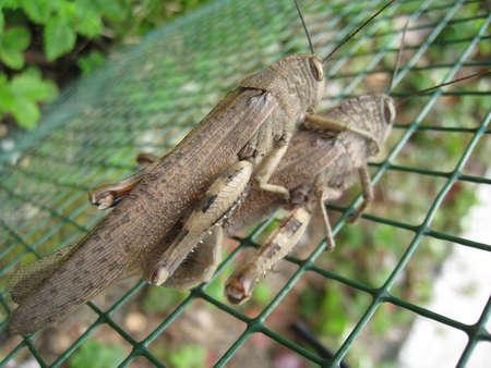 szarańcza: Locust sprzęgła Zdjęcie Seryjne