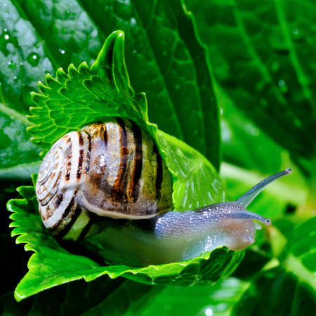 The snail belongs to invertebrates has outer shell that uses as a defense  Stock Photo