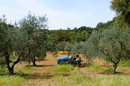 crawler: Weeding and milling of an olive grove with a crawler tractor