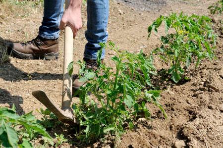 Le traitement manuel de la terre avec la pioche dans une culture de tomates