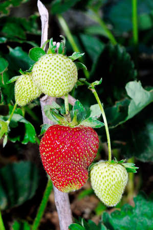 grocers: Image of unripe strawberries and already ripe photographed on the tree Stock Photo