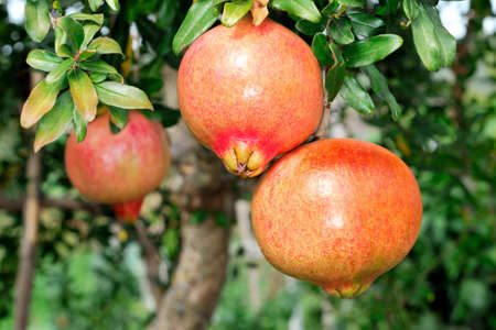 biology: Red and ripe pomegranate on the branch of a pomegranate tree in an biological orchard.