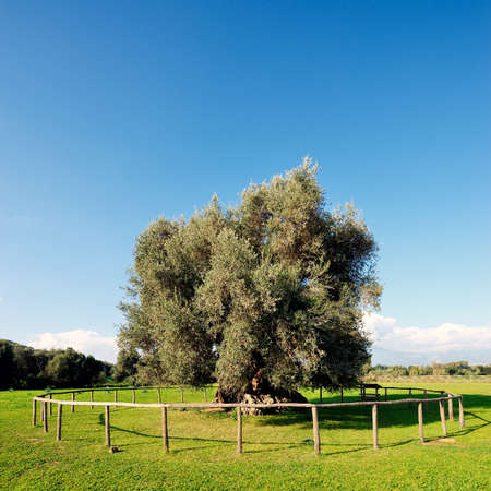 millennial: Image of a centuries-old olive tree photographed in daylight