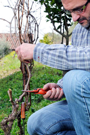 wine grower: Wine grower engaged in the vine pruning with professional scissors