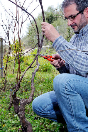 grower: Wine grower engaged in the vine pruning with professional scissors
