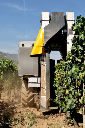 grower: Grape harvest with mechanical harvesting through the processing machine