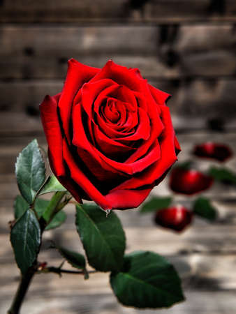 Image of a red rose photographed on the background of an antique wooden table. Stock Photo