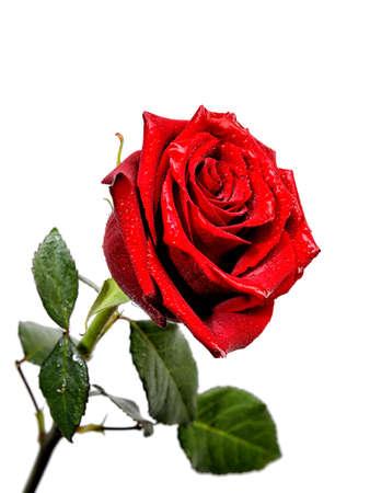 흰색 배경에 고립 된 빨간 장미 dewdrop의 이미지.