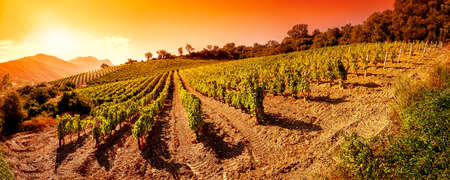 Beautiful sunrise over a landscape of a vineyard laden with bunches of ripe grapes in the summer Stok Fotoğraf