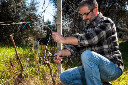 Caucasian wine grower at work engaged in pruning the vine with professional scissors. Traditional agriculture. 版權商用圖片
