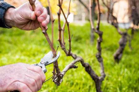 Close-up of a winegrower hand. Prune the vineyard with professional steel scissors. Traditional agriculture.