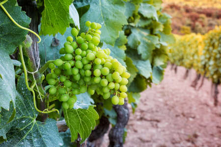 Fruit set in a vineyard. Bunches of grapes with the berries just formed after flowering. Traditional agriculture. Sardinia.