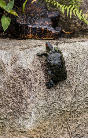 aquatic reptile: A small turtle successfully climbing a wall