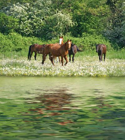 spiegelung: Pferde auf der Weide Stock Photo