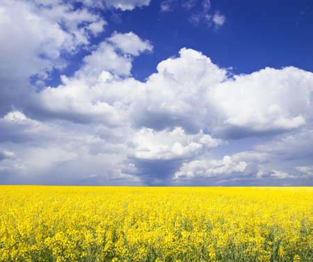 agrar: Rapsfeld