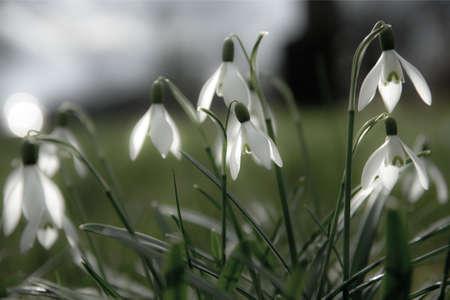 frhling: Schneeglöckchen