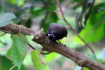 eye brow: Blue eye brow bird looking for something